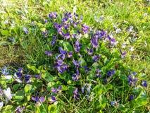 Lösa violetta vårblommor arkivfoton