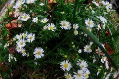 Lösa vita blommor i Arlington, Virginia Arkivbild