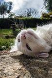 Lösa vita Cat Taking en ta sig en tupplur Fotografering för Bildbyråer