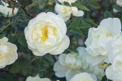Lösa vita rosor på en bakgrund av gröna sidor royaltyfria bilder