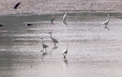 Lösa vita stora fåglar i lantgård söker för fiskar Royaltyfri Fotografi
