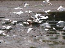 Lösa vita stora fåglar som flyger i lantgård, söker för fiskar Arkivbild