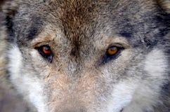 Lösa Wolf Eyes Royaltyfri Foto