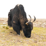 Lösa yak i Himalaya berg. Indien Ladakh Royaltyfri Bild