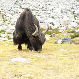 Lösa yak i Himalaya berg. Indien Ladakh Royaltyfria Bilder
