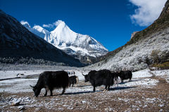 Lösa yak i Yading parkerar Royaltyfri Fotografi