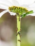 Löss och myror Arkivfoton