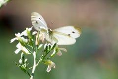 Löst änggräs och fjäril i vår i naturmakro Arkivbild
