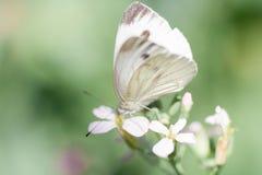 Löst änggräs och fjäril i vår i naturmakro Royaltyfria Bilder