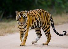 Löst anseende för Bengal tiger på vägen i djungeln india 17 2010 för india för elefant för bandhavgarhbandhavgarthområde umaria f Fotografering för Bildbyråer