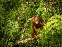 Löst behandla som ett barn orangutanget som äter röda bär i Forest Of Borneo Malaysia Royaltyfria Bilder