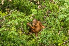 Löst behandla som ett barn orangutanget som äter röda bär i Forest Of Borneo Malaysia Fotografering för Bildbyråer
