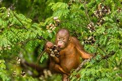 Löst behandla som ett barn orangutanget som äter röda bär i Forest Of Borneo Malaysia Royaltyfri Foto