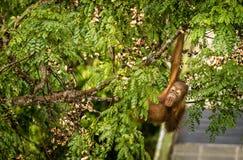Löst behandla som ett barn orangutanget som äter röda bär i Forest Of Borneo Malaysia Royaltyfri Bild