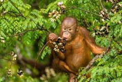 Löst behandla som ett barn orangutanget som äter röda bär i Forest Of Borneo Malaysia Royaltyfri Fotografi