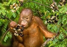 Löst behandla som ett barn orangutanget som äter röda bär i Forest Of Borneo Malaysia Royaltyfria Foton