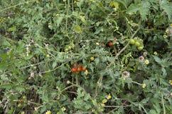 Löst behandla som ett barn tomater i trädgård Arkivbild