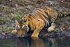 Löst dricksvatten för Bengal tiger från ett damm i djungeln india 17 2010 för india för elefant för bandhavgarhbandhavgarthområde Royaltyfri Foto