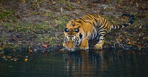 Löst dricksvatten för Bengal tiger från ett damm i djungeln india 17 2010 för india för elefant för bandhavgarhbandhavgarthområde Arkivfoto