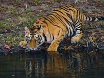 Löst dricksvatten för Bengal tiger från ett damm i djungeln india 17 2010 för india för elefant för bandhavgarhbandhavgarthområde Royaltyfria Bilder