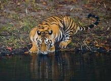 Löst dricksvatten för Bengal tiger från ett damm i djungeln india 17 2010 för india för elefant för bandhavgarhbandhavgarthområde Royaltyfri Fotografi