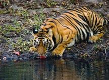 Löst dricksvatten för Bengal tiger från ett damm i djungeln india 17 2010 för india för elefant för bandhavgarhbandhavgarthområde Arkivbild