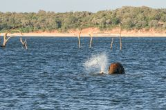 Löst elefantbad Arkivbild