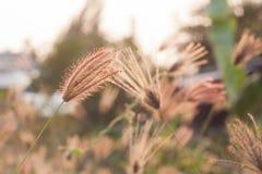 Löst fält av gräs på solnedgång Royaltyfri Foto