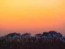 Löst fält av japanskt silvergräs på solnedgången Arkivbild