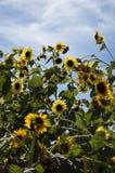 Löst fält av solrosor mot en blå himmel med moln Arkivfoto