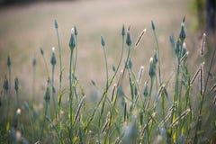 Löst gräs, foxtails och maskrosor i en äng arkivbilder