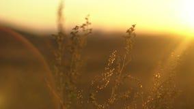 Löst gräs med bakbelyst i guld- solljus Landskap med torrt stäppgräs Stäppgräs i solen stock video