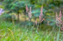 Löst gräs med spikelets som svänger slätt i vind royaltyfria foton