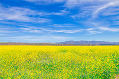 löst gult blommafält Royaltyfria Foton