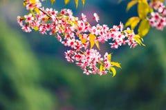Löst Himalayan körsbärsrött blomma (Prunuscerasoides) Arkivbilder