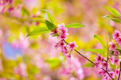 Löst Himalayan körsbärsrött blomma (Prunuscerasoides) Arkivbild