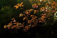 Löst Himalayan träd för körsbärsröda blomningar Arkivbild