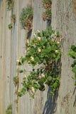 Löst hoppa omkring buskeCapparisspinosaen som växer på klippan Arkivbild