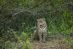 Löst Jaguar sammanträde i djungelröjning Royaltyfri Bild