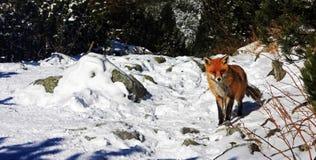 Löst kyla för räv Arkivbild