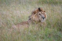 Löst lejon för foto som ligger i gräset av den afrikanska savannet som fotograferas i Kenya Fotografering för Bildbyråer