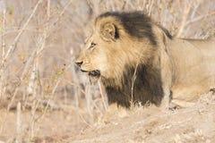 Löst lejon för vuxen man med ett löst hund- förföljarov Arkivbild