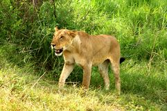 Löst lejon i afrikansk nationalpark arkivfoton