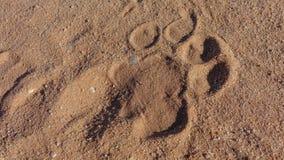 Löst lejonfotspår på sanden royaltyfri fotografi