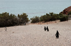 Löst liv av Magellanic pingvin. Atlantisk kust. Royaltyfri Bild