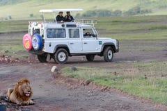 Löst manligt lejon som vilar nära en jeep med turister Arkivfoto