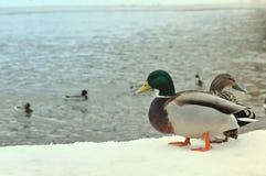Löst naturliv matande änder som går i vinter, parkerar begrepp Två lösa gräsandänder som står på pir som täckas med snö nära ri Royaltyfri Foto