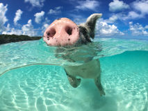 Löst och att simma svinet på stort ha som huvudämne cayen i Bahamas royaltyfria bilder