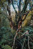 Löst och stort växande träd i rainforest på den södra ön av Nya Zeeland fotografering för bildbyråer