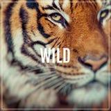 Löst ord Närbild av en tigerframsida Selektivt fokusera Arkivfoto